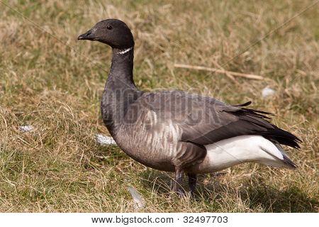 Brent goose (Branta bernicla)