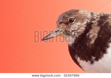 Ruddy Turnstone (Arenaria interpres) portrait