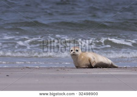 Young white common seal on the beach
