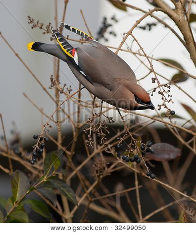 Bohemian Waxwing on a branch