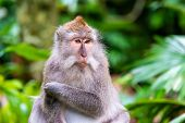 Macaque monkey at Ubud Monkey Forest in Bali, Indonesia poster