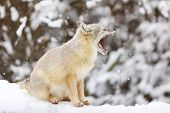 Corsac Fox Is Sitting On White Snow. Animals In Wildlife. Animal With Fluffy And Warm Fur. poster