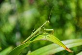 Green Mantis. The Green Mantis Sits On The Green Leaves Of A Flower In The Garden. Green Mantis Clos poster