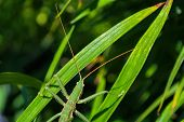 Green Stick Insect Or Green Phylliidae. The Green Phasmatodea Sits On The Leaves Of Flowers In The G poster