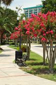 pic of crepe myrtle  - Crape Myrtles along a walkway at Lake Lucerne - JPG