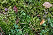 Green Autumn Moss In Forest. Autumn Forest Green Moss Top View. Forest Moss Background poster