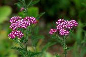 Two Bunches Of Common Yarrow Or Achillea Millefolium Or Plumajillo Or Herbal Militaris Or Gordaldo O poster