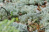 Moss Lichen Cladonia Rangiferina. Grey Reindeer Lichen. Beautiful Light-colored Forest Moss Growing  poster