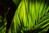 Green Leaf Of Tropical Plant Photo. Decorative Flora In Sunlight. Palm Leaf In Backlight. Tropical P poster