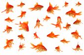 stock photo of fantail  - Beautiful Collage of many orange fantail goldfish - JPG