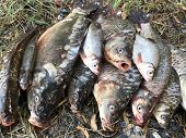 Good Catch Of Fish On The Lake. A Lot Of Fish Lies On The Grass. Carp And Crucian Carp Lies On The S poster