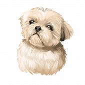 Shih Tzu Lap Dog Toy Pet Digital Art. Small Chrysanthemum Breed Watercolor Portrait Closeup, Hand Dr poster