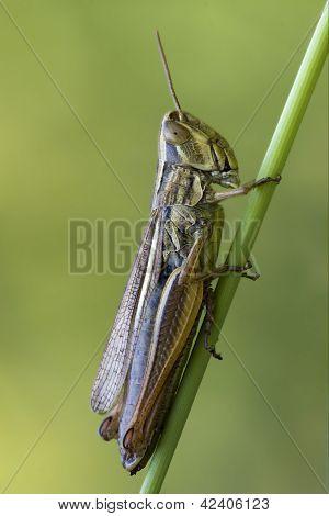 Grasshopper Chorthippus