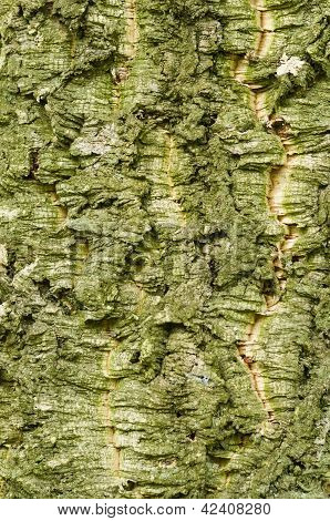 Bark Of Quercus Suber, Cork Oak Tree