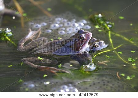 Mating Common Frogs (Rana temporaria)
