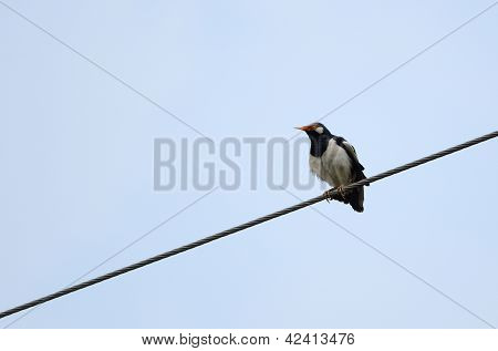 Asian Pied Starling(gracupica Contra)