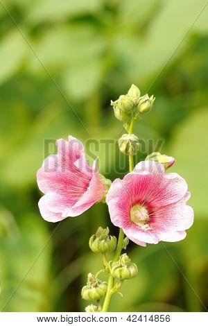 Pink Hollyhock Flower Alcea rosea