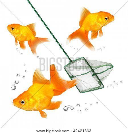 Catching of the goldfish. Success concept. Business metaphor.
