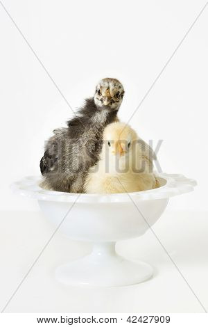 Chickens In A Bowl