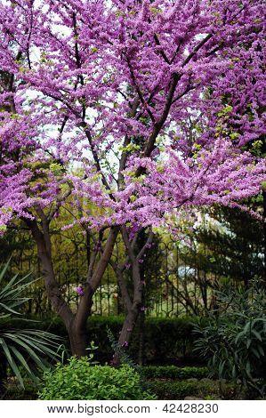Close Up Of Violet Blossoming Cercis Siliquastrum Plant At Caucasus Area