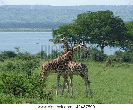 Male Giraffes At Fight In Africa