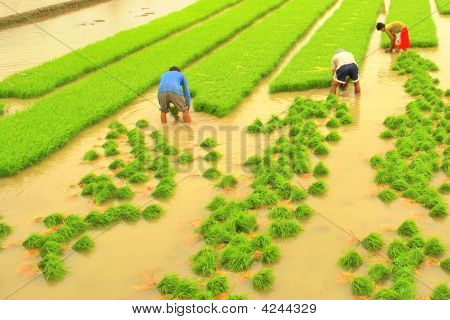 Transplant From Rice Plot