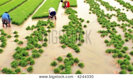 Three Farmer Planting Rice
