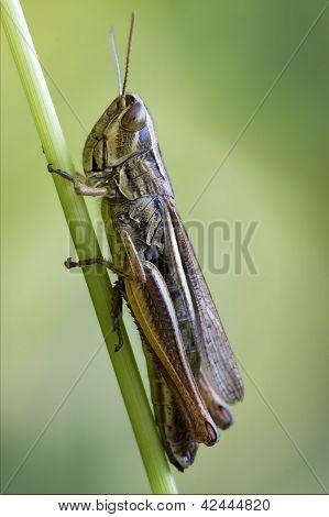 Brown  Grasshopper Chorthippus Brunneus
