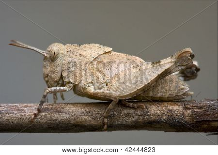 Brown  Grasshopper Orthopterous