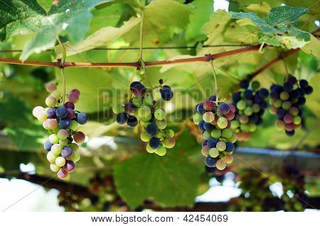 Closeup Of Bunch Of Red Grape In The Vinyard