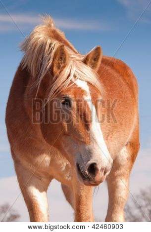 Beautiful blonde Belgian draft horse looking down to the right of the viewer, with a sweet look on his face