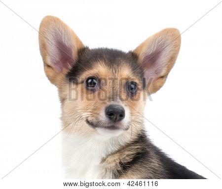 a cute welsh corgi puppy