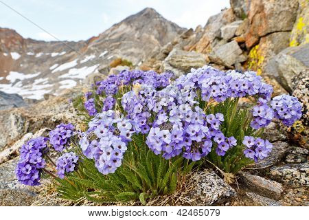 Polemonium Eximium Flower (jacob's Ladder, Skypilot)
