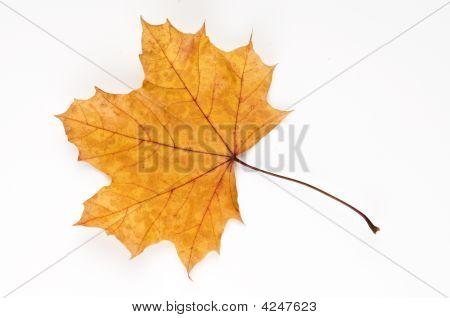 London Plane Leaf