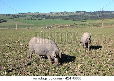 schwarzen iberischen Schweine