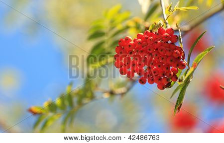 Rowanberries In Early Autumn