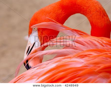 Red Flamingo - Detail