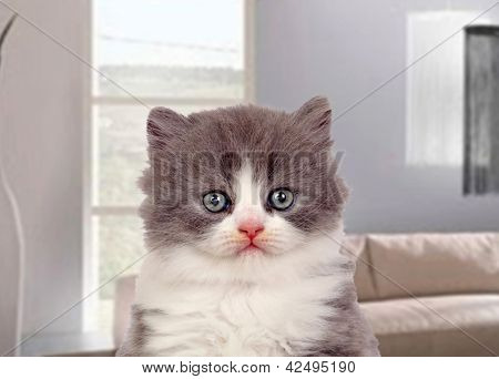 Beautiful angora kitten with gray and soft hair in the living-room