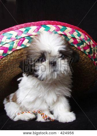Shih Tzu Under Hat