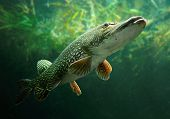 stock photo of trout fishing  - Underwater photo of a big Pike  - JPG