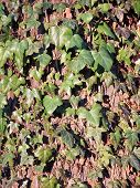 pic of english ivy  - Ivy is an evergreen climbing plant and has tendrils - JPG
