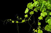 stock photo of grape-vine  - A textured grape vine isolated on a black background - JPG