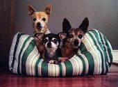stock photo of pal  - three dog pals in a dog bed together - JPG