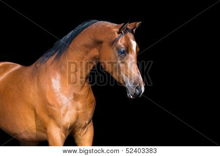 Bay horse isolated on black background, Arabian horse.