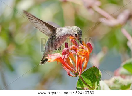 Annas Hummingbird feeding on Honeysuckle Flowers