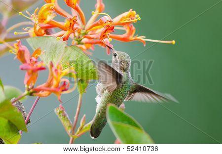 Annas Hummingbird feeding on Honeysuckle Flowers
