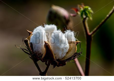 Raw Cotton Growing in a Cotton Field.  Closeup of a Large Cotton Boll.
