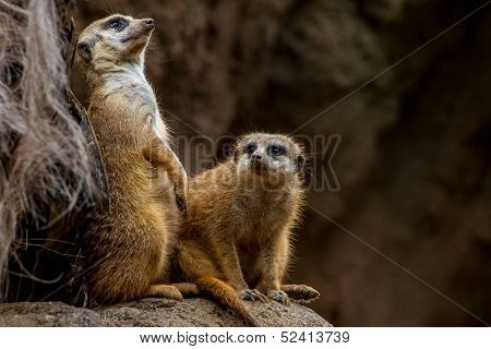 A Couple of Meerkats Posing and Keeping Watch at the Houston Zoo