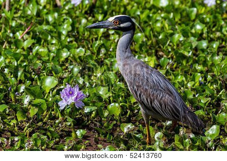 A Sharp Closeup of a Yellow-crowned Night Heron in Flowering Water Hyacinth