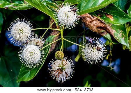 A Very Interesting Closeup of the Spiky Nectar-Laden Globes (Blooms) of a Wild Button Bush